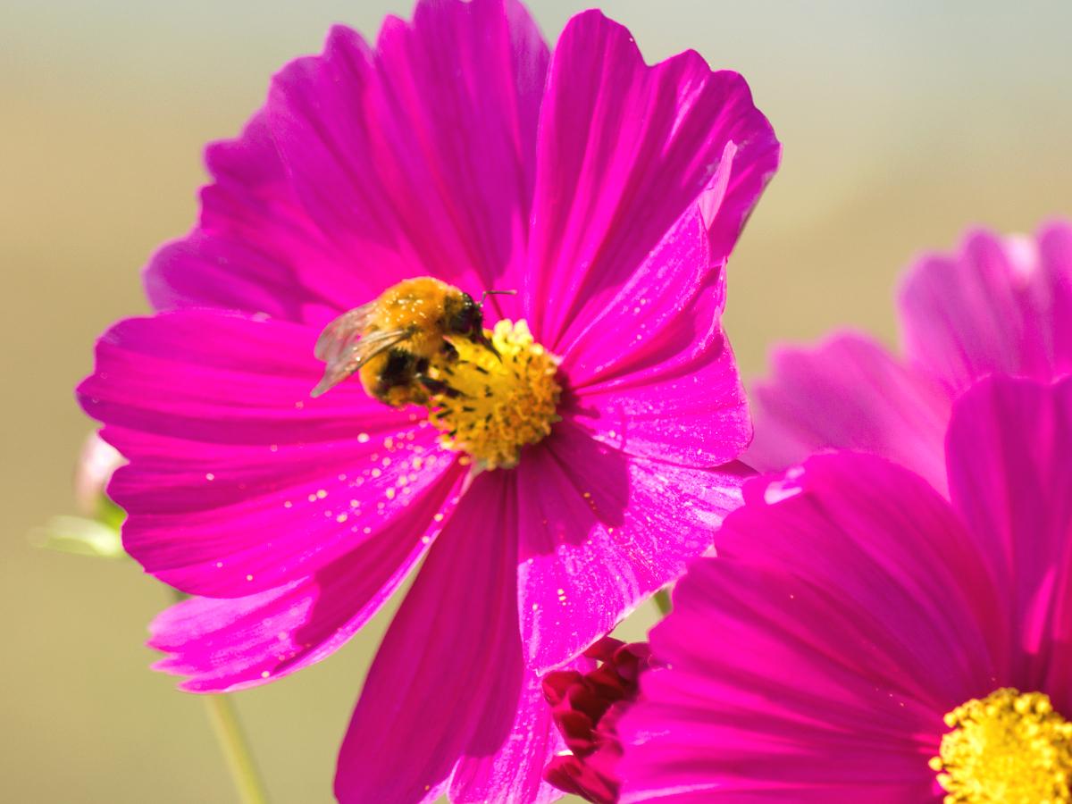 cosmos-bee.jpg